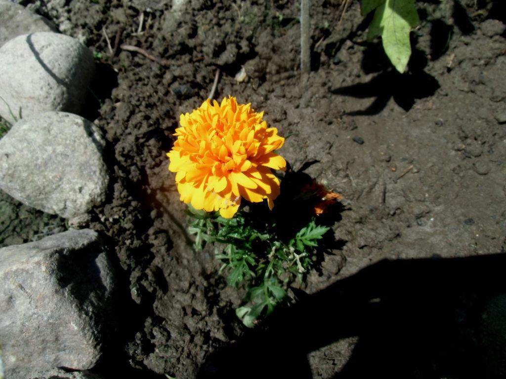bologiczna ochrona roślin - aksamitki