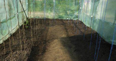 uprawa ogórków w tunelu foliowym