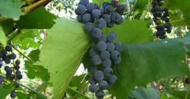 uprawa winogron