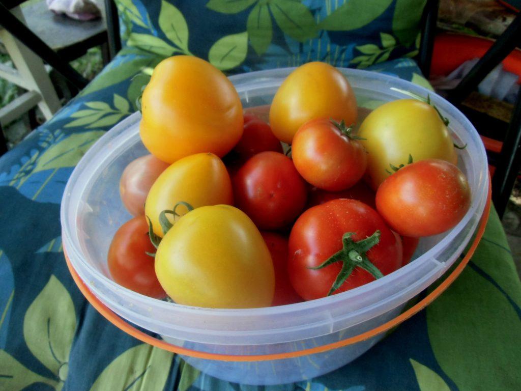 uprawa pomidorów w tunelu foliowym