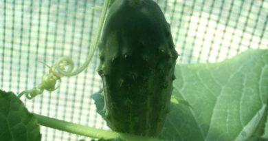 szkodniki ogórków
