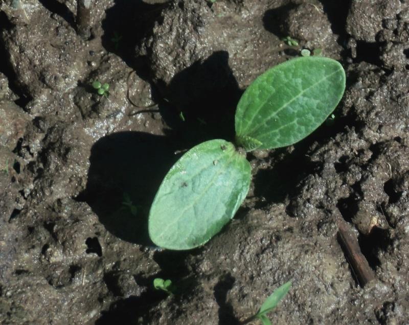 uprawa ogórków