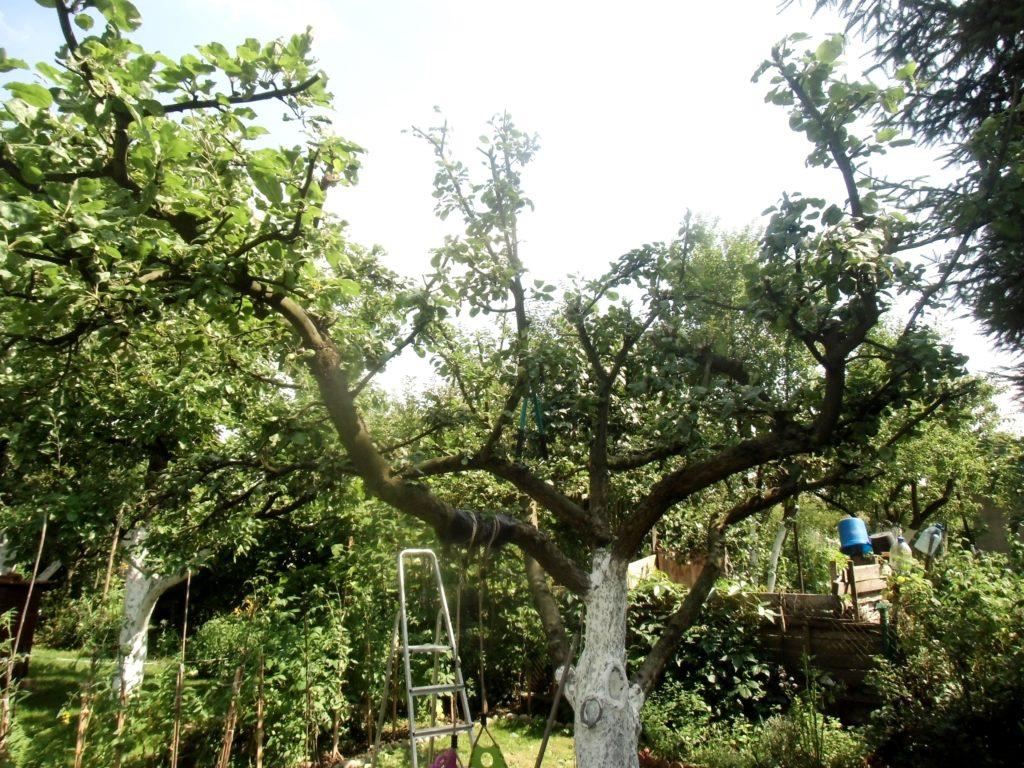 letnie cięcie drzew