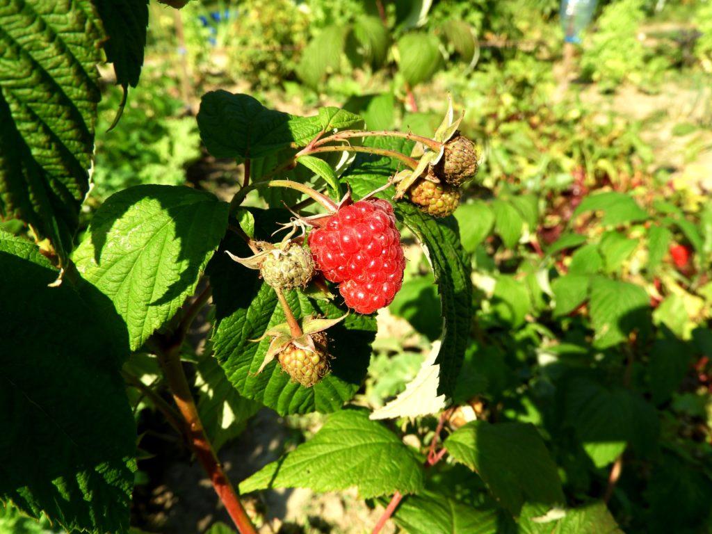 ochrona owoców