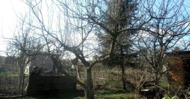 wilki na drzewach owocowych