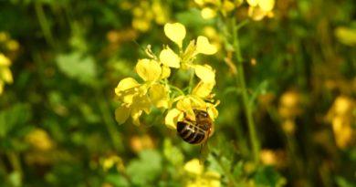 znaczenie pszczół