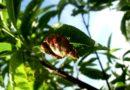 kędzierzawość liści brzoskwini