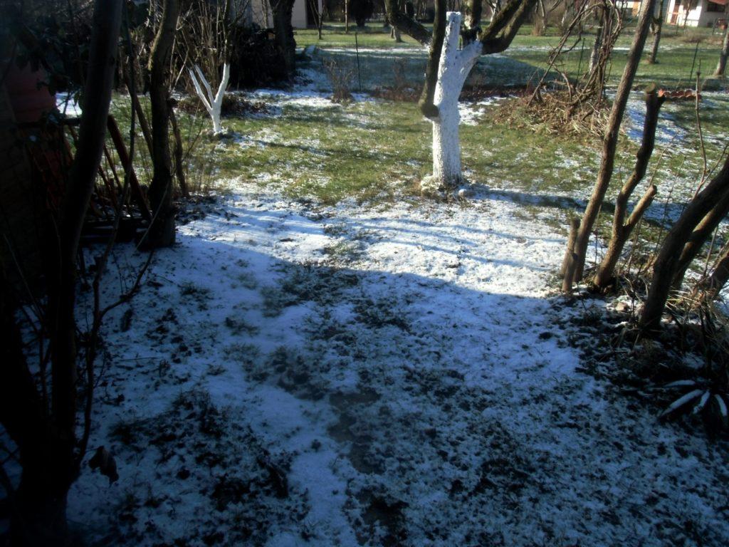 ochrona borówki amerykańskiej przed zimą