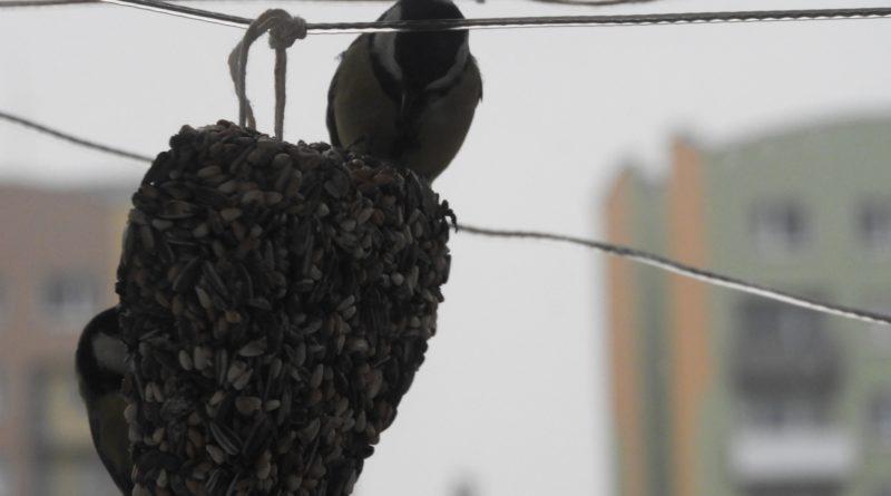dokarmianie ptaków zimą