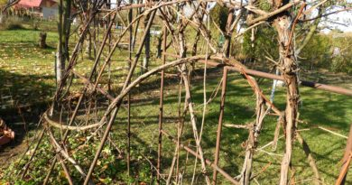 jak zabezpieczyć winorośl na zimę