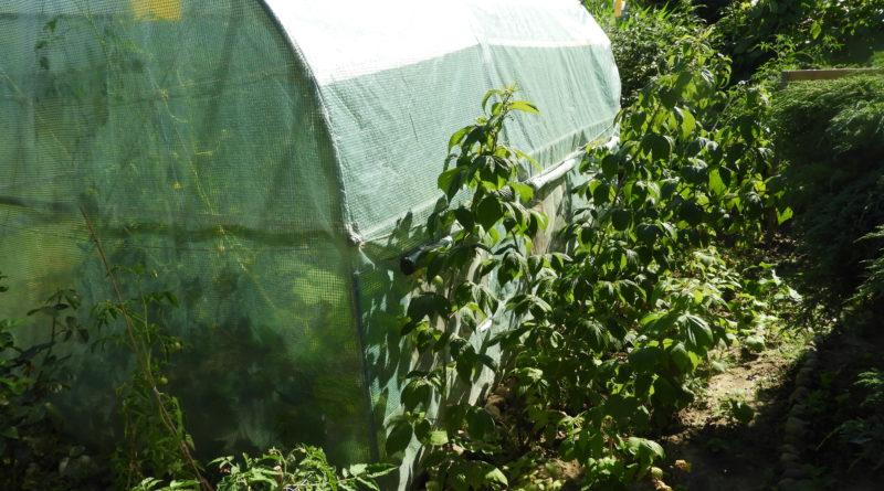 uprawa winorośli w tunelu