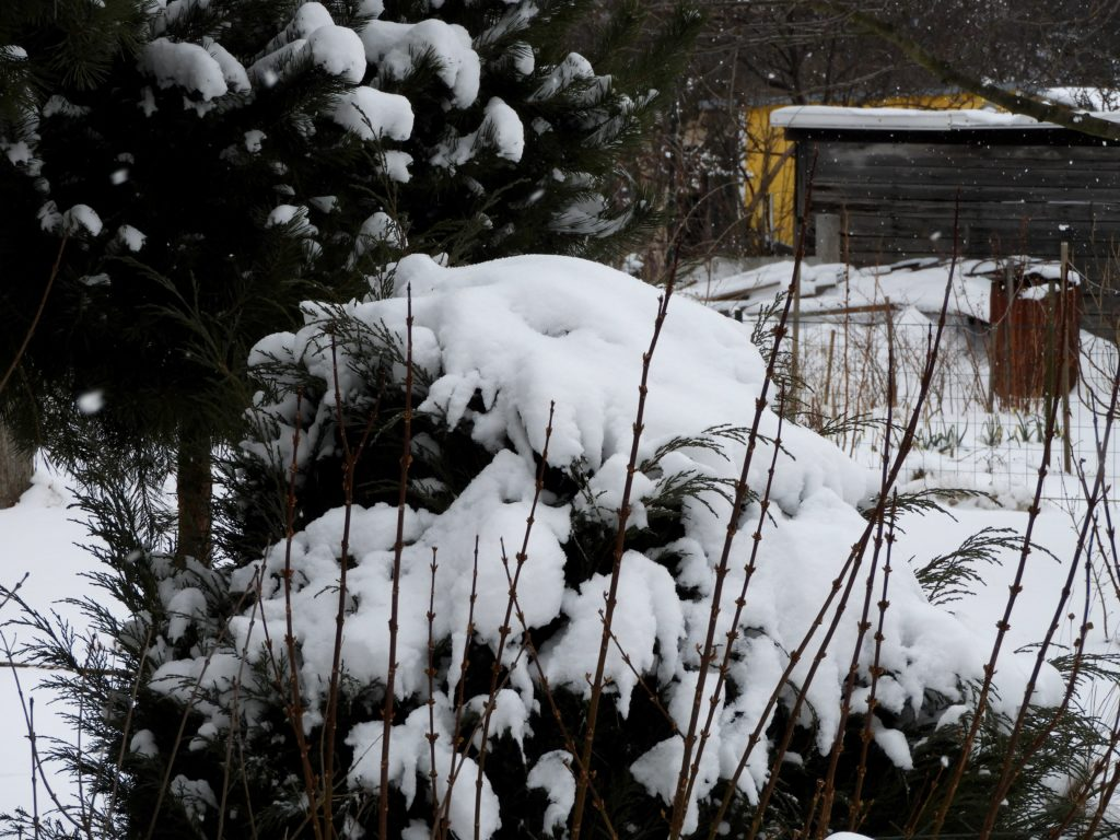zimowe zagrożenia w ogrodzie i na działce