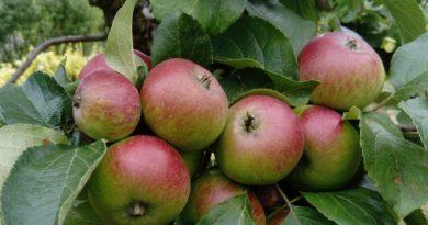 drzewa owocowe w ogrodzie