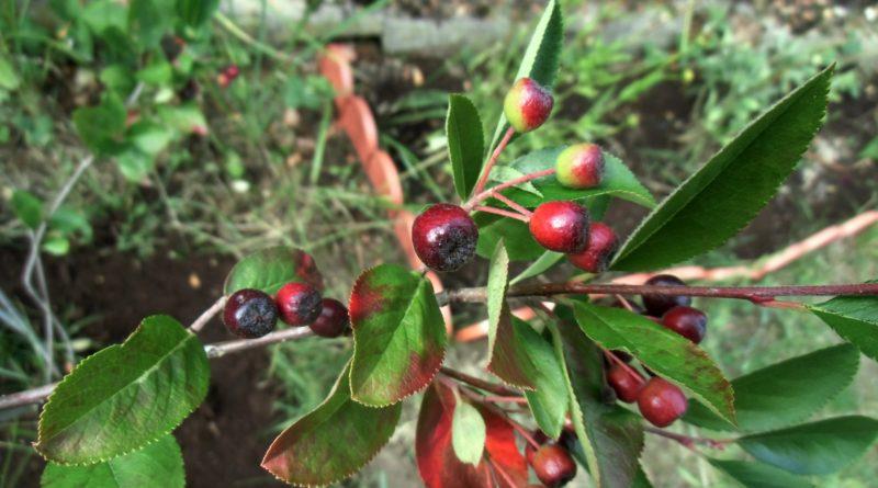 uprawa aronii