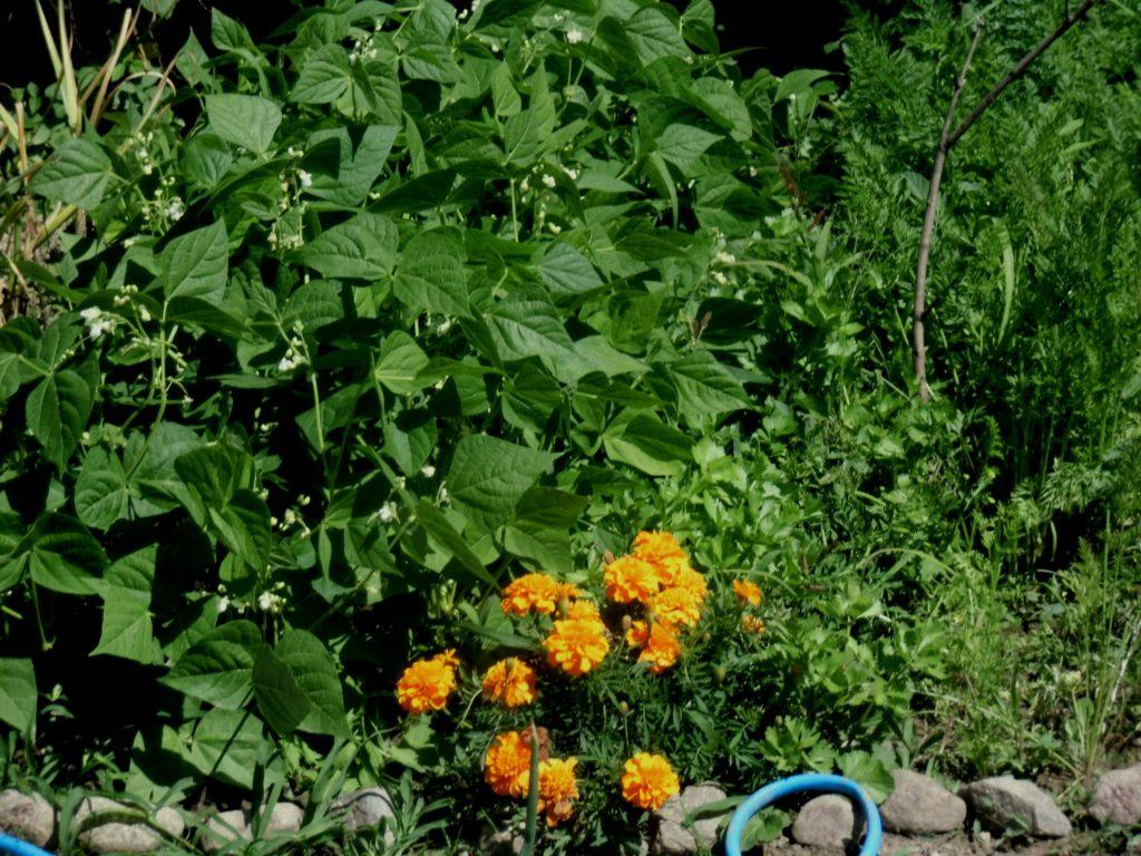 znaczenie aksamitek w ogrodzie