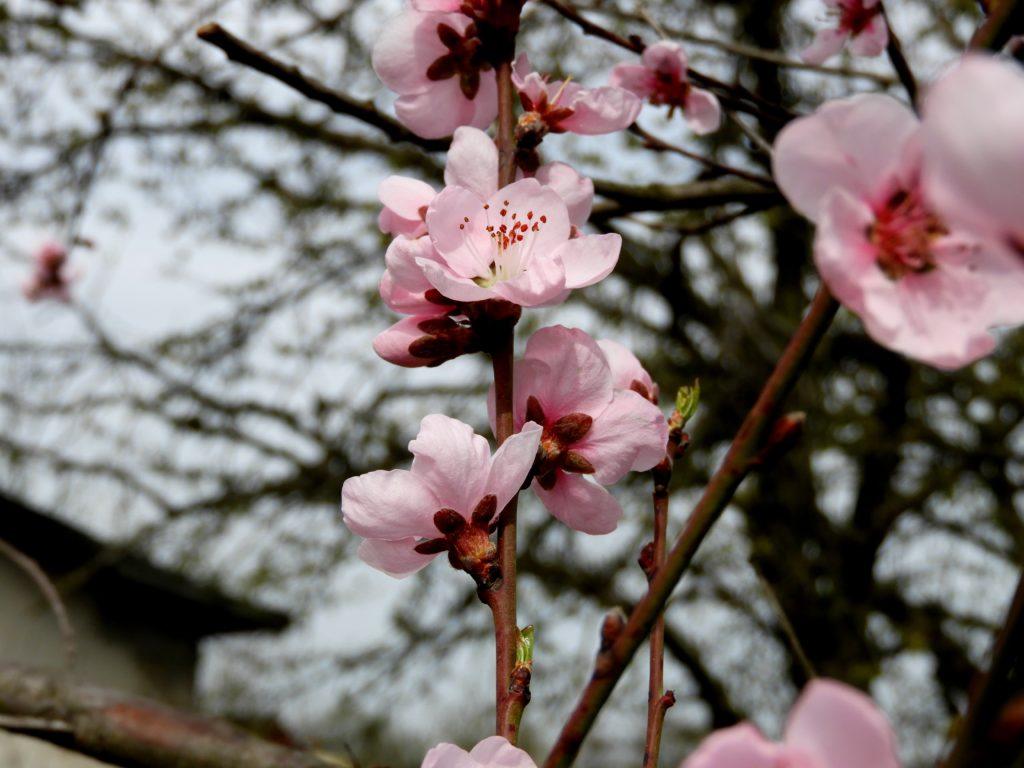 wiosenne przymrozki w sadzie
