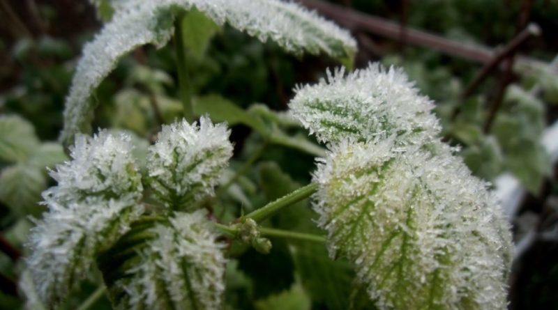 ochrona roślin przed wiosennymi przymrozkami