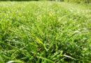trawnik po suszy
