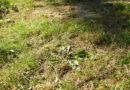 trawnik żółknie