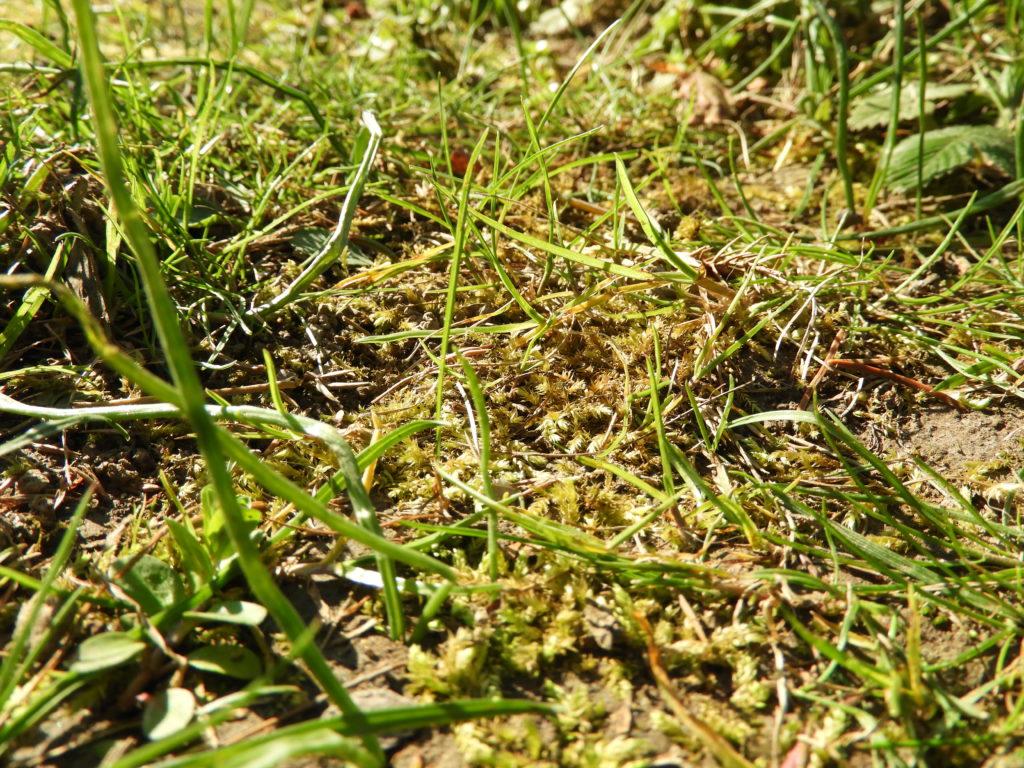żółknięcie trawnika