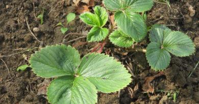 truskawki po zbiorach