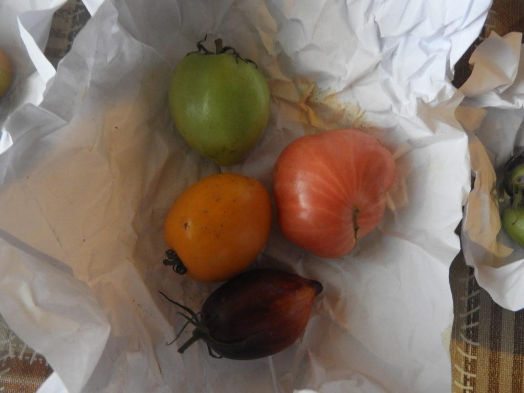 Dojrzewanie zielonych pomidorów w domu