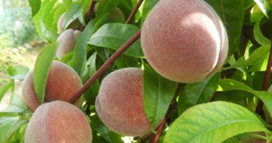 cięcie drzew owocowych jesienią