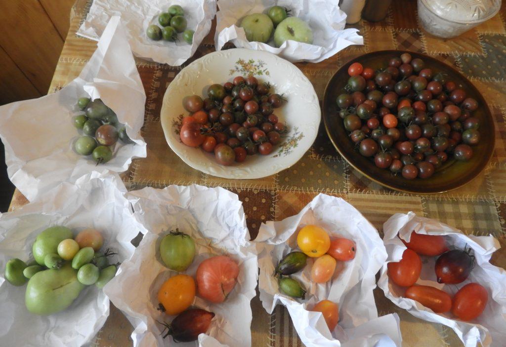 dojrzewanie zielonych pomidorów
