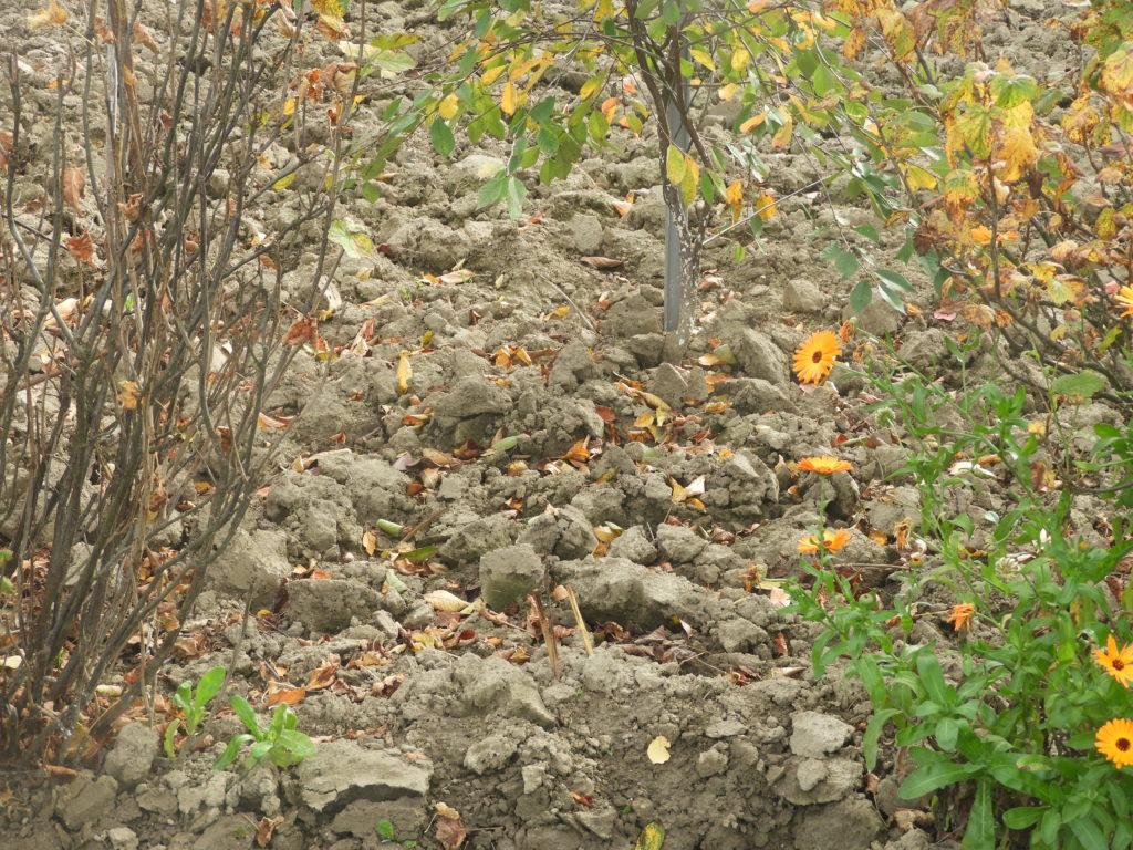 jesienne przekopywanie gleby - w ostrej skibie