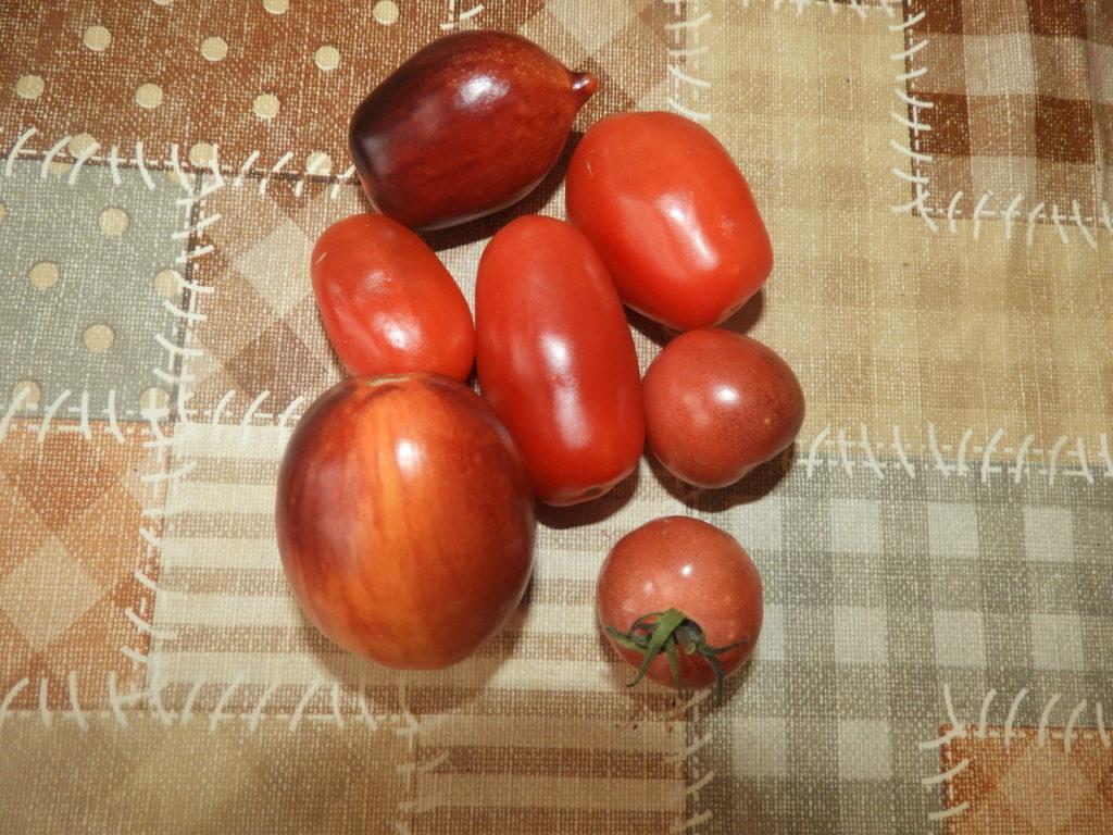 pomidory z nasion krok po kroku