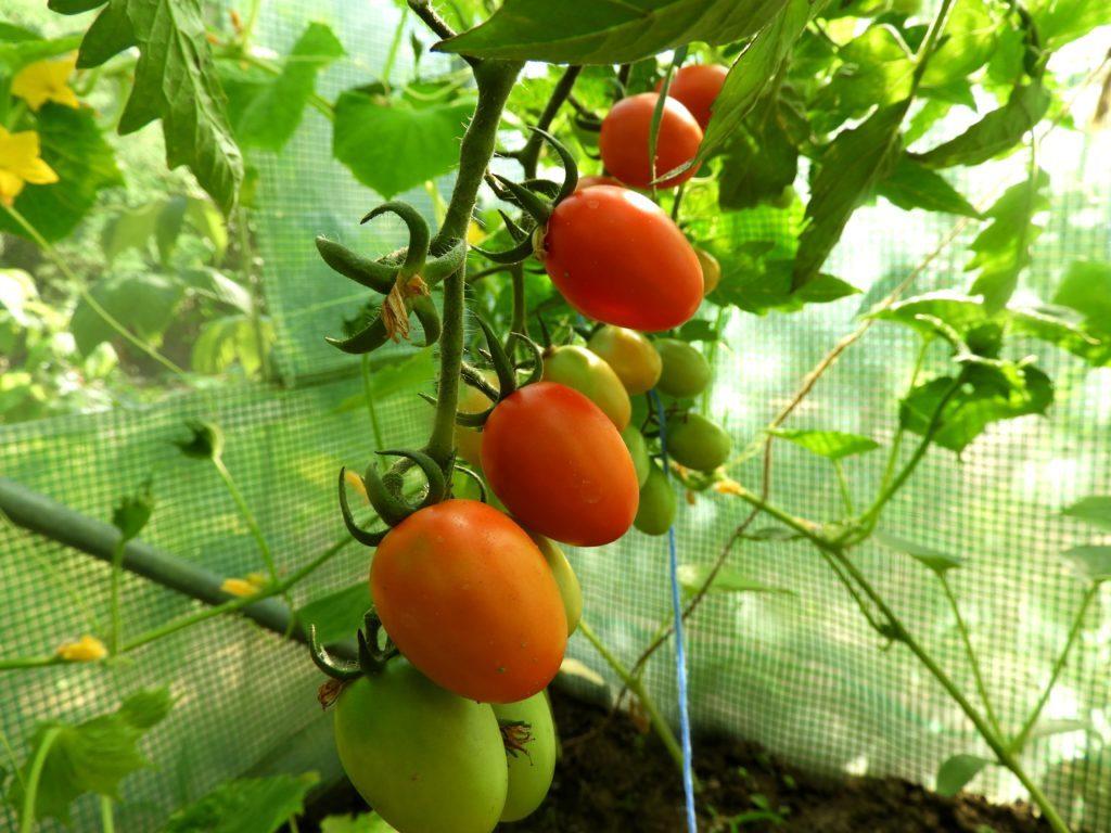 własne nasiona z pomidorów
