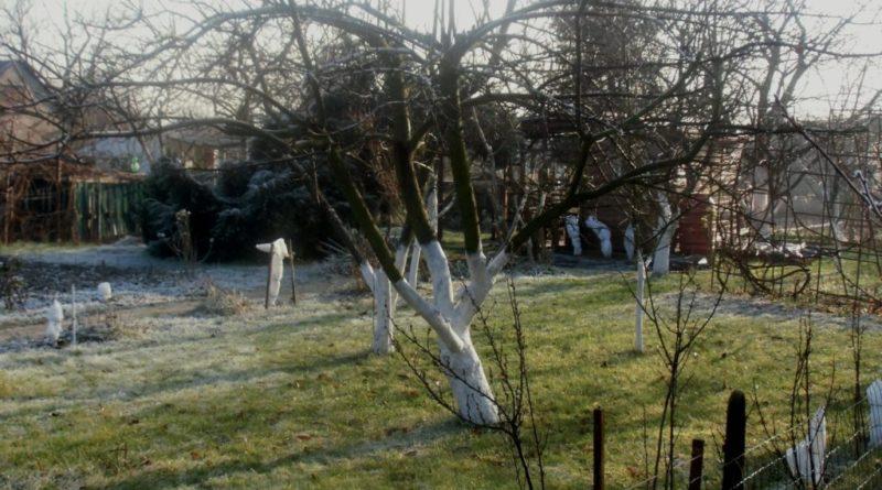 kiedy bielić drzewa owocowe