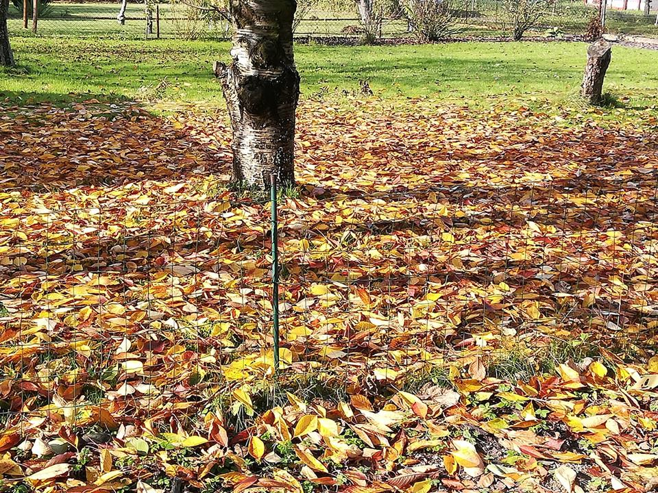 zmiana barwy liści