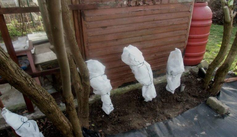 kiedy okrywać rośliny na zimę