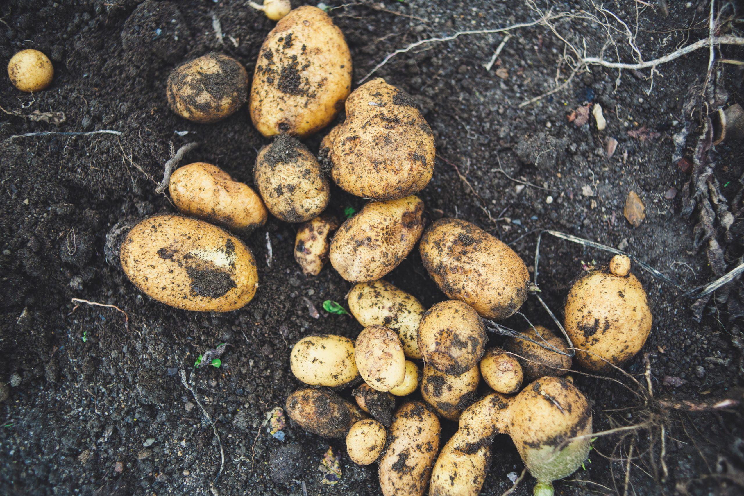 jak wykorzystać resztki warzyw, owoców i ziół - ziemniaki