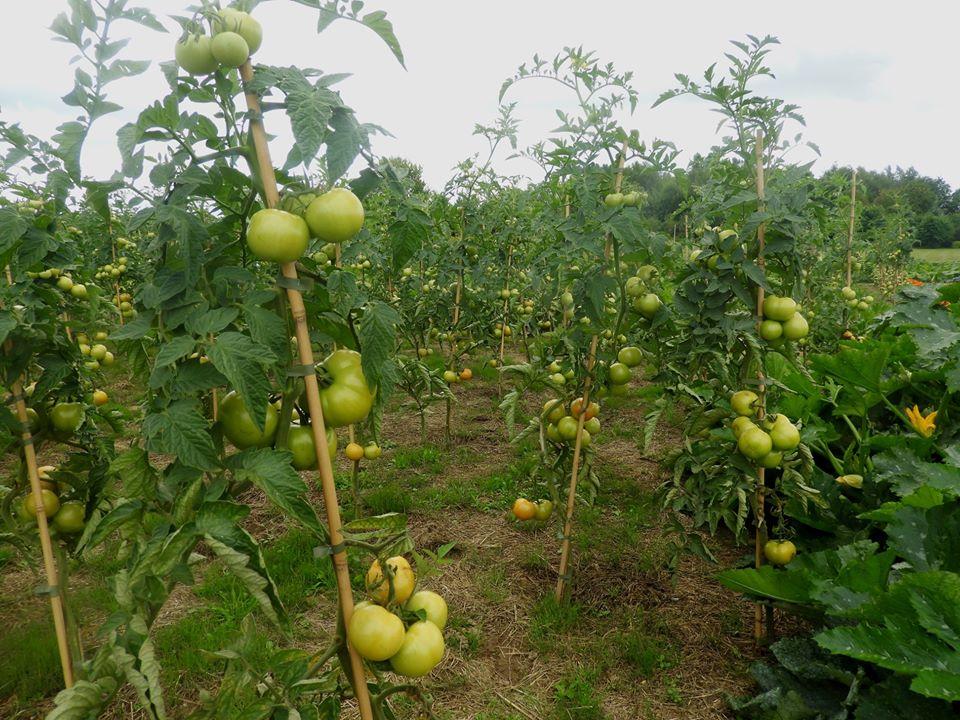 kiedy sadzić pomidory