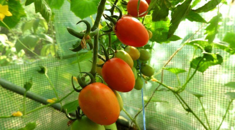 kiedy sadzimy pomidory