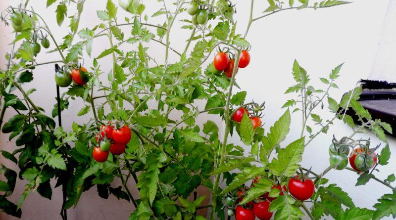 kiedy sadzimy pomidory na balkonie