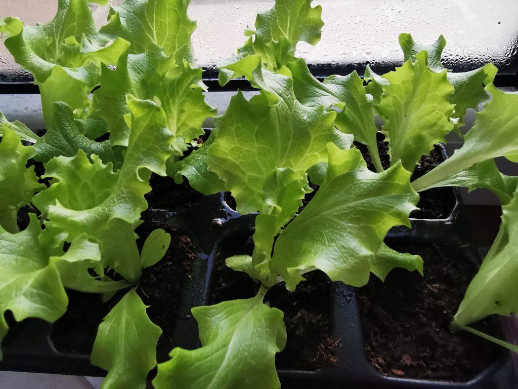Sałata jest warzywem łatwym w uprawie.
