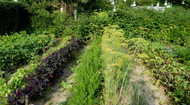 uprawa sałaty z rozsady
