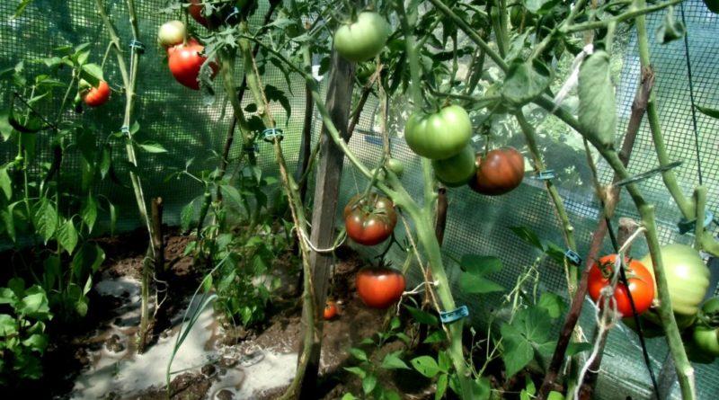 uprawa warzyw w tunelu foliowym