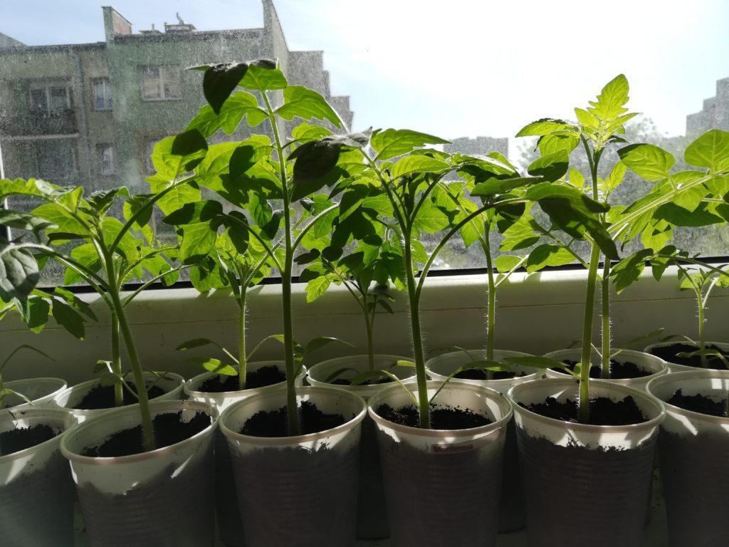 hartowanie rozsady warzyw