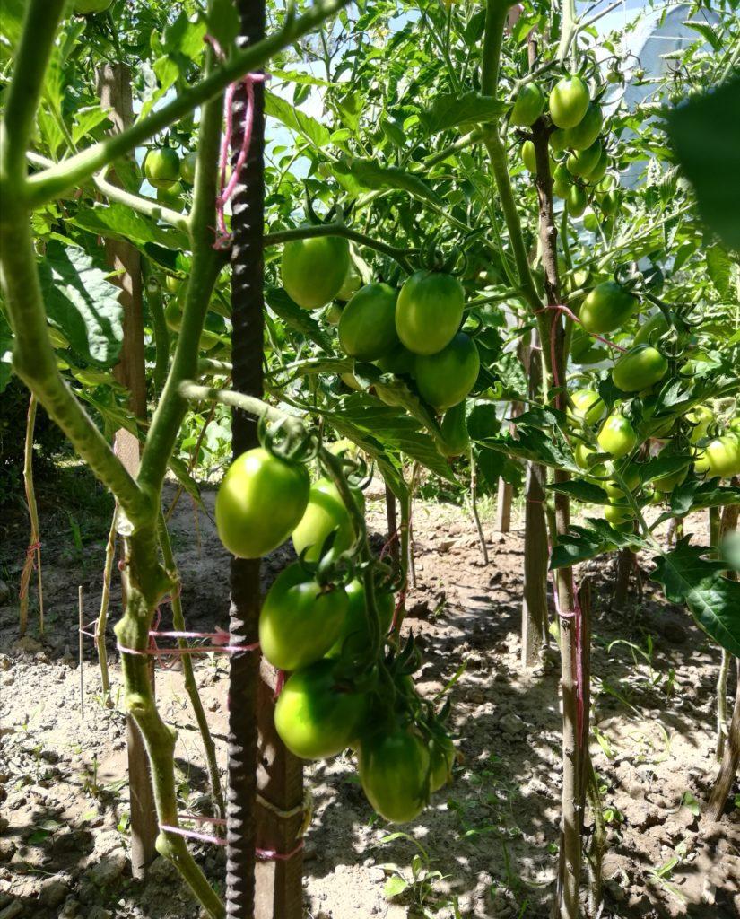paliki do pomidorów w ogrodzie