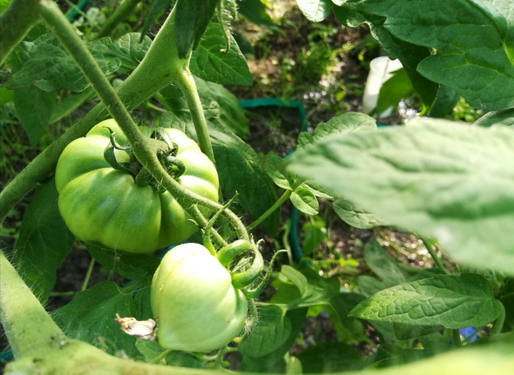 podpory dla pomidorów