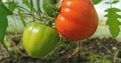 kiedy zbierać pomidory