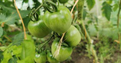 ogławianie pomidorów