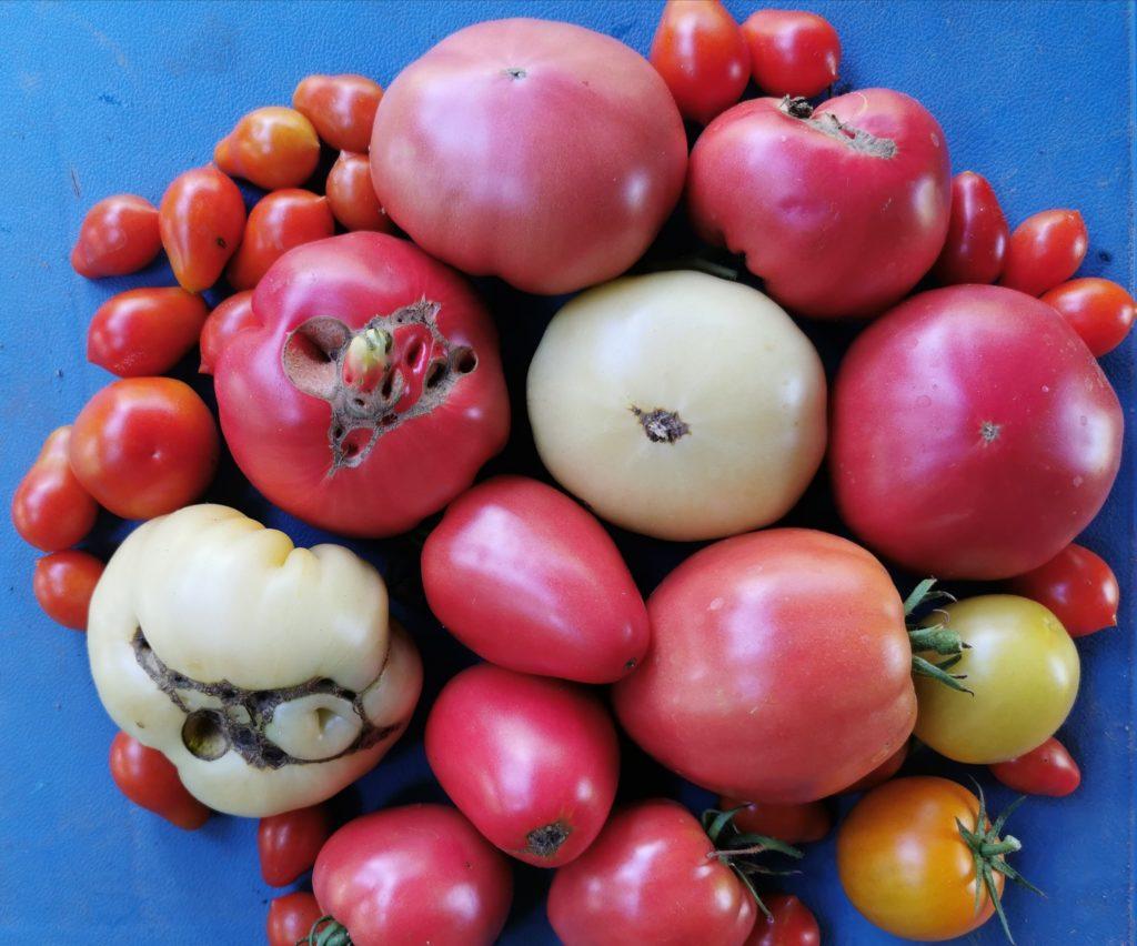 jaką odmianę pomidora wybrać