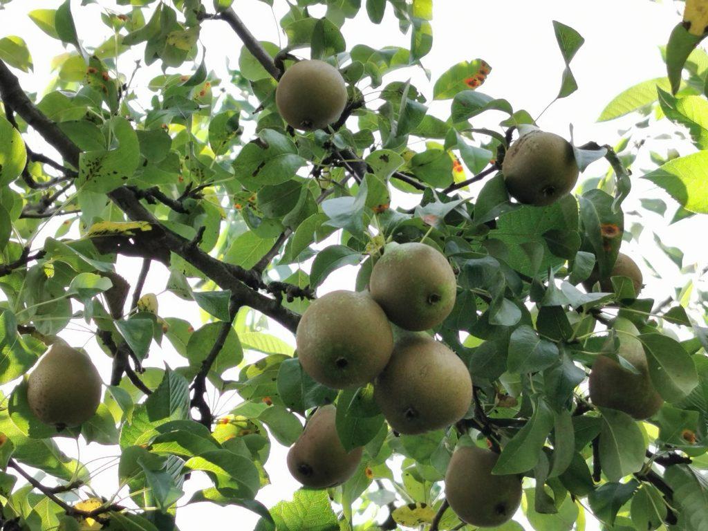 wrześniowy zbiór owoców