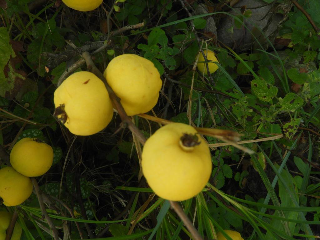owoce pigwowiec japoński