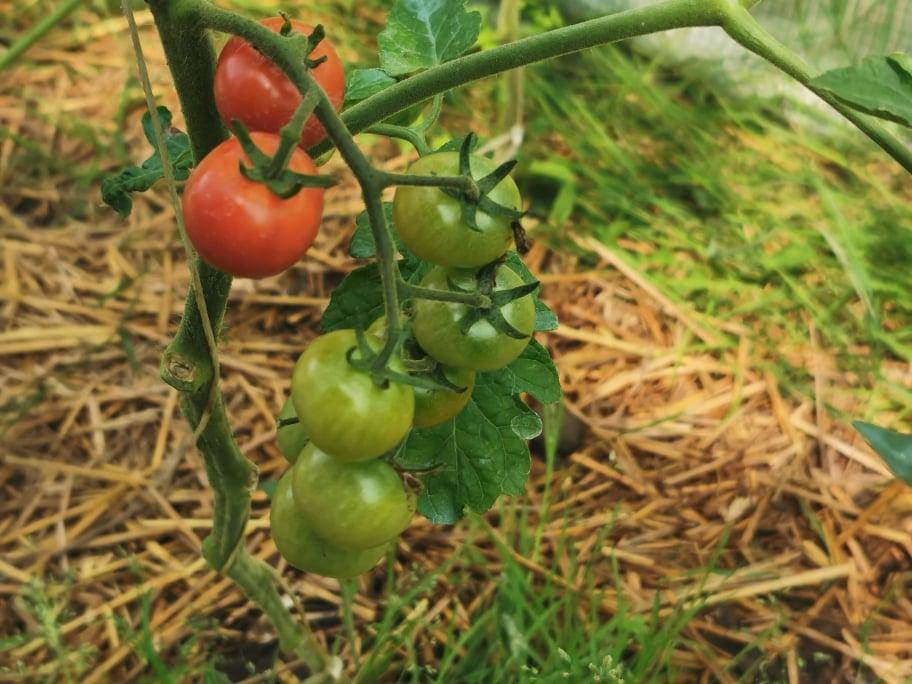 ekologiczny oprysk na pomidory